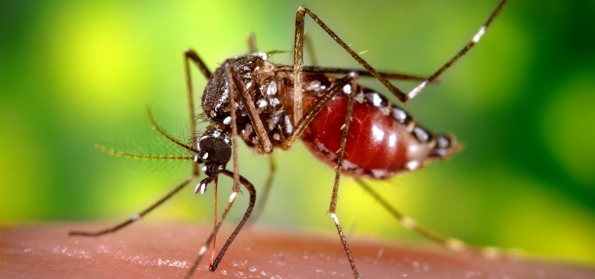 """2006 Prof. Frank Hadley Collins, Dir., Cntr. for Global Health and Infectious Diseases, Univ. of Notre Dame  This 2006 image depicted a female Aedes aegypti as she was obtaining a blood-meal from a human host through her fascicle, which had penetrated the host skin, and was red in color, reflecting the blood's coloration through this tubular structure. In this case, what would normally be an unsuspecting host was actually the CDC's biomedical photographer's own hand, which he'd offered to the hungry mosquito so that she'd lite, and be photographed while feeding. As it fill with blood, the abdomen became distended, stretched the exterior exoskeletal surface, causing it to become transparent, and allowed the collecting blood to become visible as an enlarging intra-abdominal red mass.  As the primary vector responsible for the transmission of the Flavivirus Dengue (DF), and Dengue hemorrhagic fever (DHF), the day-biting Aedes aegypti mosquito prefers to feed on its human hosts. Ae. aegypti also plays a major role as a vector for another  Flavivirus, """"Yellow fever"""". Frequently found in its tropical environs, the white banded markings on the tarsal segments of its jointed legs, though distinguishing it as Ae. aegypti, are similar to some other mosquito species. Also note the lyre-shaped, silvery-white markings on its thoracic region as well, which is also a determining morphologic identifying characteristic."""